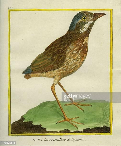 "Southern Anteater-chat, Myrmecocichla formicivora.Southern Anteater-chat.Georges-Louis Leclerc, Comte of Buffon. ""Natural History of birds, fish,..."