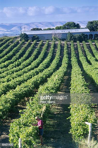 southern australia, man working in vineyard, elevated view - barossa valley stock pictures, royalty-free photos & images
