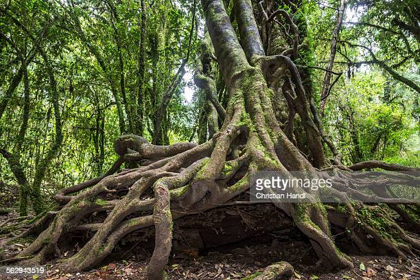 Southern Beech -Nothofagus- with a branched root system, Puyehue National Park, Los Lagos Region, Chile