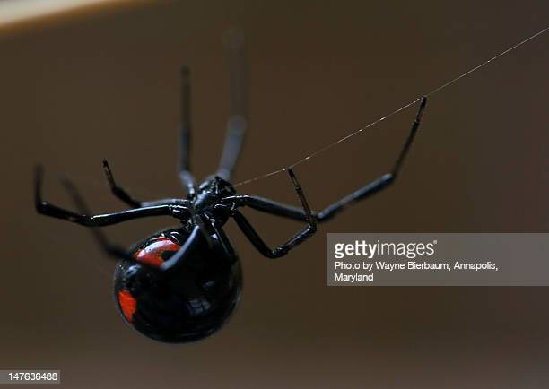 southern black widow - black widow spider stock photos and pictures