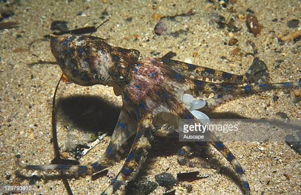 Southern blueringed octopus Hapalochlaena maculosa carrying the clutch of eggs she is brooding Edithburgh Yorke Peninsula South Australia