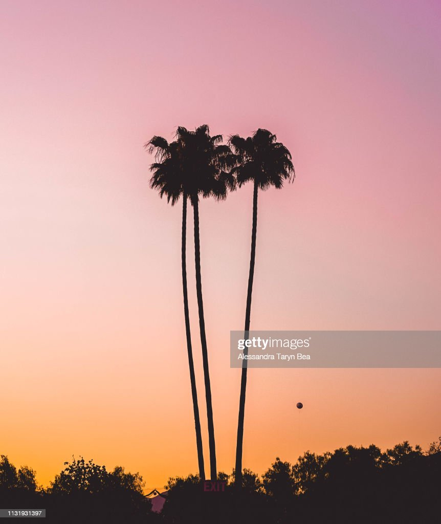 Southern Californian Palm Trees : Stock Photo