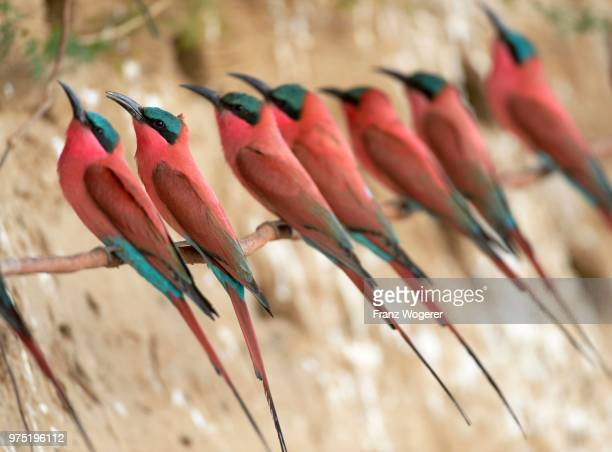 southern carmine bee-eaters (merops nubicoides), at the breeding wall, steep shore on the luangwa river, south luangwa national park, zambia - south luangwa national park stock pictures, royalty-free photos & images