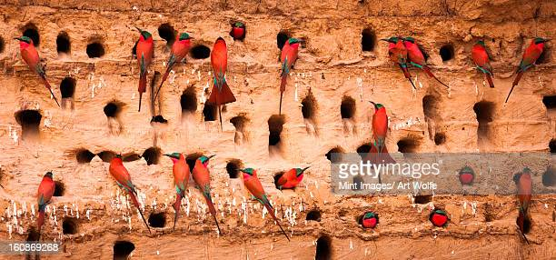 southern carmine bee-eaters, south luangwa national park, zambia, merops nubicoides - zambia stock pictures, royalty-free photos & images