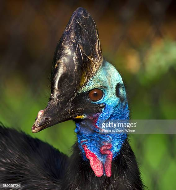 Southern Cassowary Close up