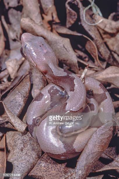 southern copperhead birth - neonate breaks out of embryonic membrane - copperhead snake stock pictures, royalty-free photos & images