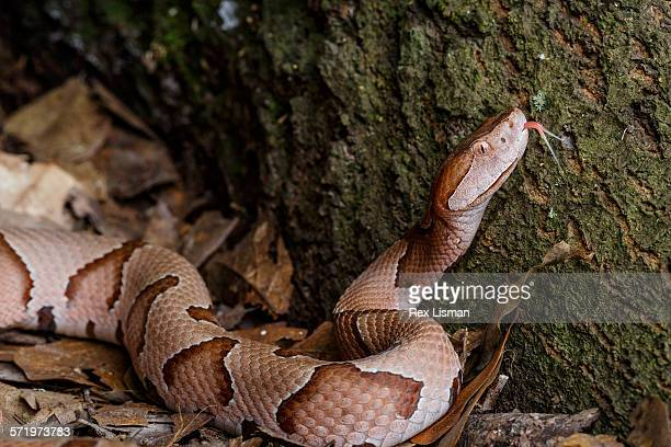 southern copperhead in ambush position - copperhead snake stock pictures, royalty-free photos & images