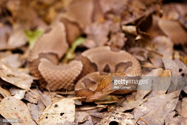 southern copperhead on dry leaves in the forest - copperhead snake stock pictures, royalty-free photos & images
