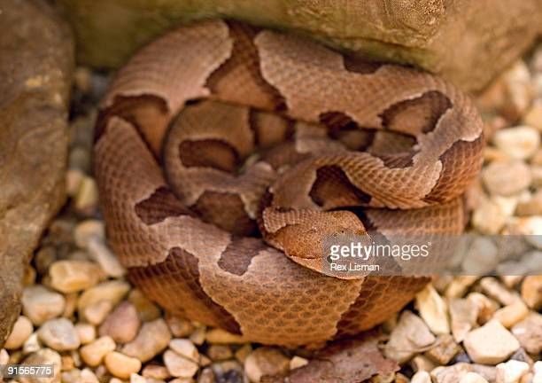 southern copperhead - copperhead snake stock pictures, royalty-free photos & images