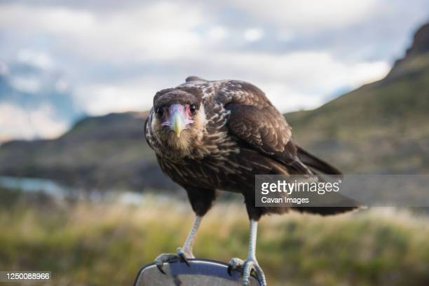 southern crested caracara (caracara plancus) looking into camera - chile stock pictures, royalty-free photos & images