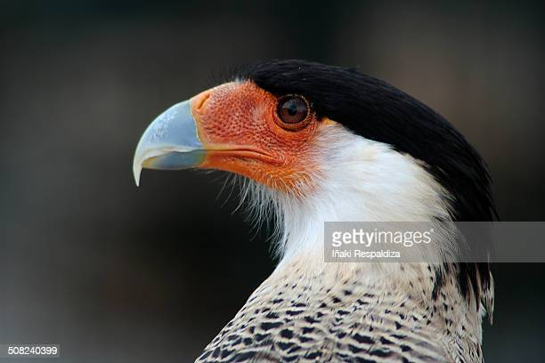 southern crested caracara - iñaki respaldiza stock pictures, royalty-free photos & images
