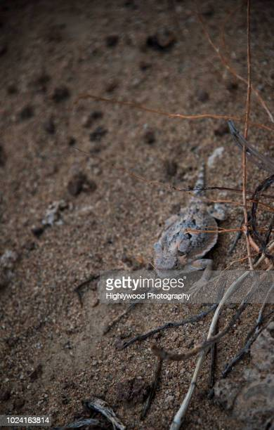 southern desert horned lizard hides in brush - highlywood stock photos and pictures