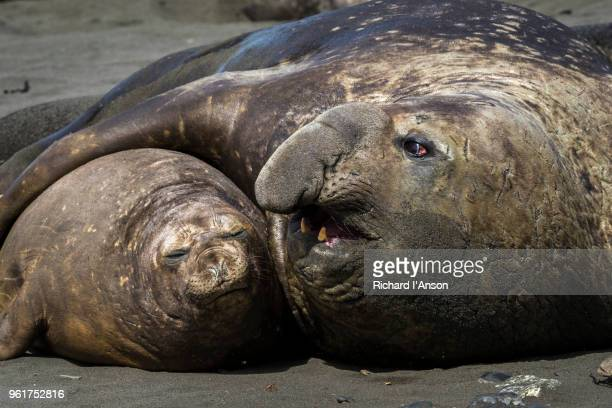 southern elephant seal bull & cow (m. leonina) courting on beach - male animal stock pictures, royalty-free photos & images