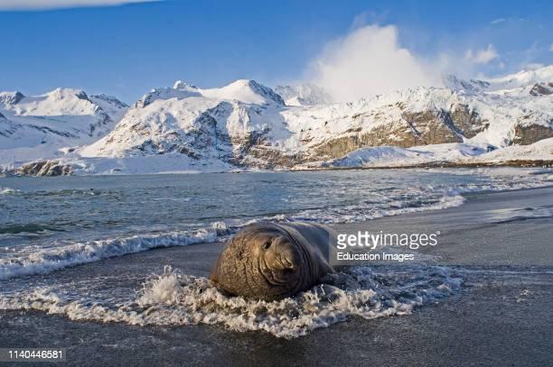 Southern Elephant Seal bull Mirounga leonina on beach Gold Harbour South Georgia