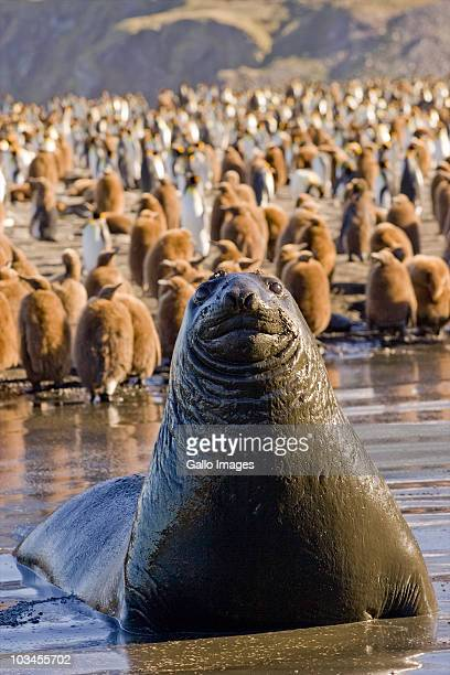 Southern Elephant Seal (Mirounga leonine), Gold Harbor, South Georgia Island, Southern Atlantic Islands, Antarctica