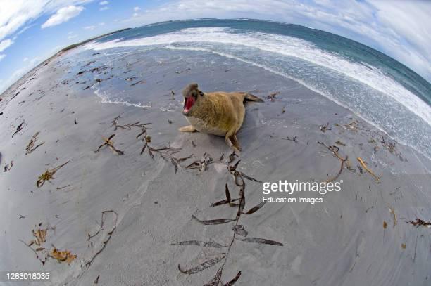 Southern Elephant Seal, Mirounga leonina bull, beachmaster, exerting his authoity, Sea lion Island, Falklands.