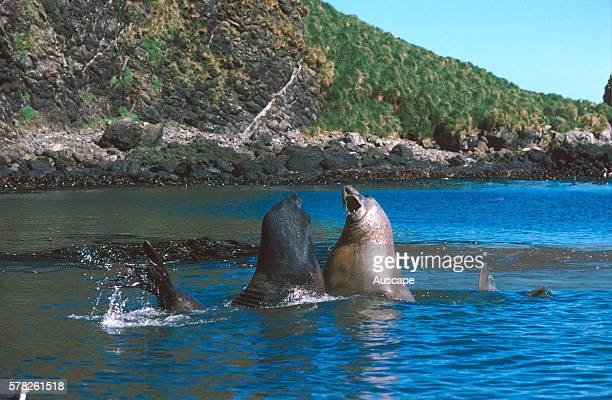 Southern elephant seal Mirounga leonina bulls fighting in water Macquarie Island Sub Antarctic administered by Tasmania Australia