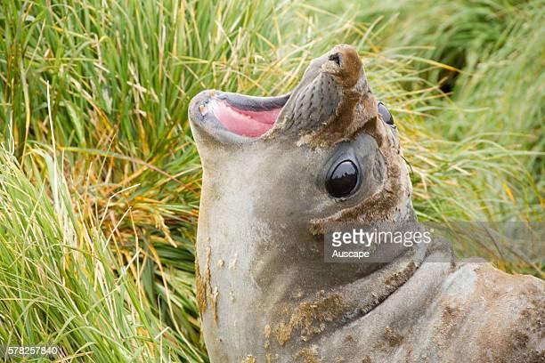 Southern elephant seal Mirounga leonina female vocalizing Macquarie Island Sub Antarctic administered by Tasmania Australia