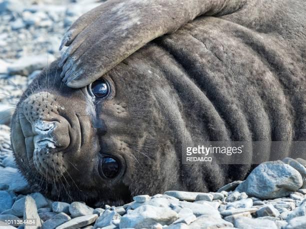 Southern elephant seal Mirounga leonina weaned pup on beach Antarctica Subantarctica South Georgia October