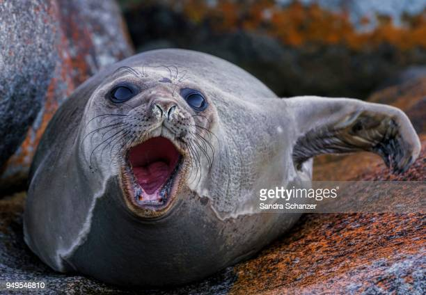 Southern Elephant Seal (Mirounga leonina) on rocks, Bay of Fires, Binalong Bay, Tasmania
