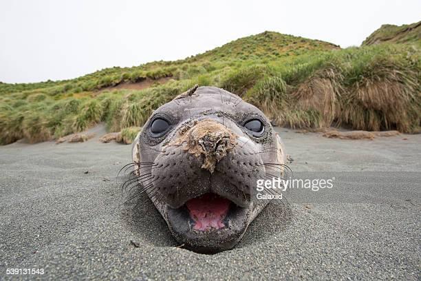 Southern Elephant Seal (Mirounga leonina)