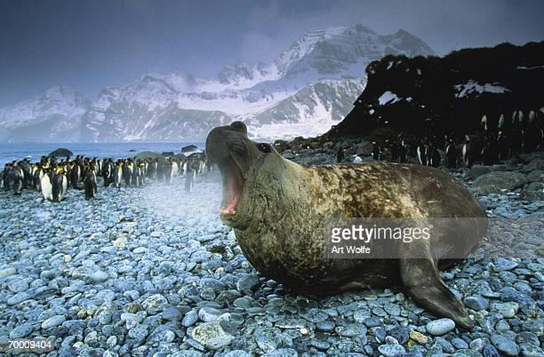 Southern elephant seal (Mirounga leonina) South Georgia Island