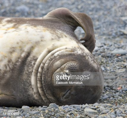 Southern elephant seal weaner pup resting on beach