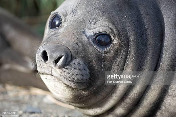 southern elephant seal (mirounga leonina) with eyes watering, fortuna bay, south georgia - foca imagens e fotografias de stock