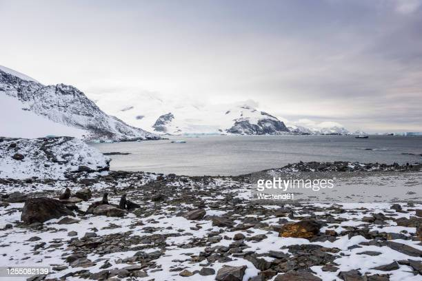 southern elephant seals (mirounga leonina) at shore of coronation island - antarctic ocean stock pictures, royalty-free photos & images