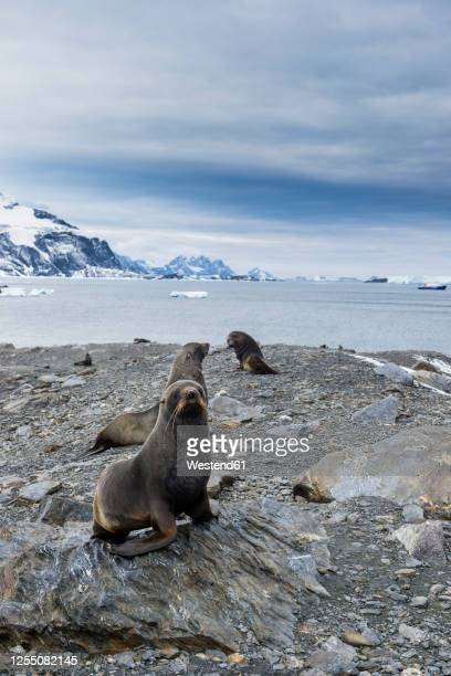 southern elephant seals (mirounga leonina) at shore of coronation island - south orkney island stock pictures, royalty-free photos & images