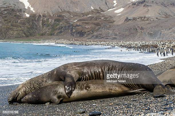 Southern elephant seals (Mirounga leonina) mating, St. Andrews Bay, South Georgia, Polar Regions