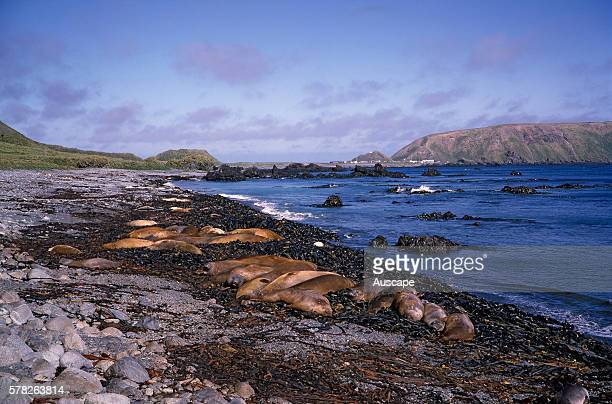 Southern elephant seals Mirounga leonina lying on beach North Coast Station in the background Macquarie Island Sub Antarctic administered by Tasmania...