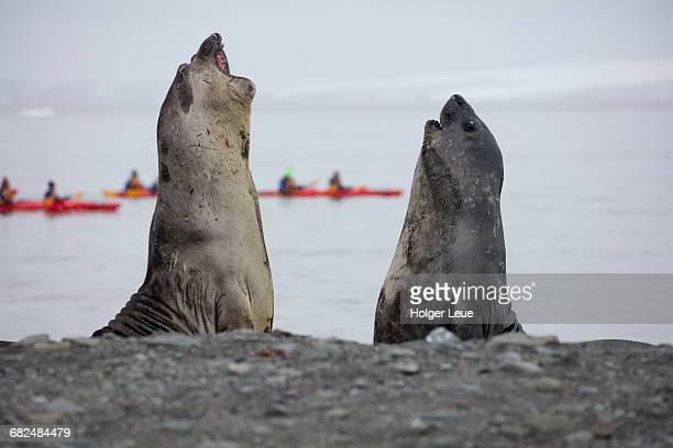 southern elephant seals with sea kayaks behind - south shetland islands stock pictures, royalty-free photos & images