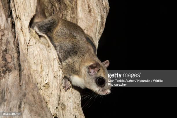 southern flying squirrel, glaucomys volans, at cavity in tree in dark - flying squirrel stock pictures, royalty-free photos & images