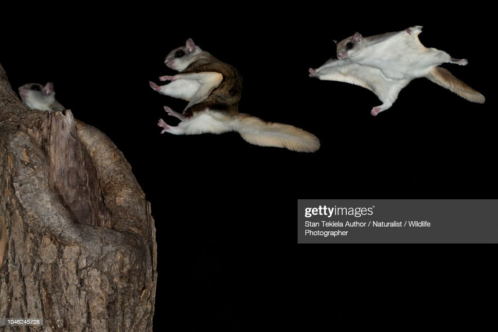 Southern Flying Squirrel, Glaucomys volans, gliding in dark : Stock Photo