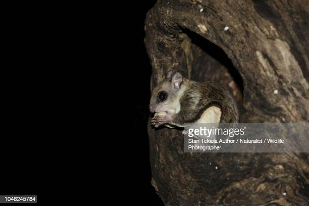 southern flying squirrel, glaucomys volans, gliding in dark - flying squirrel stock pictures, royalty-free photos & images