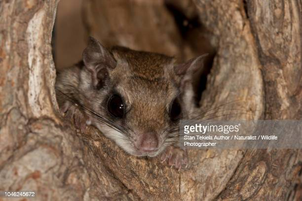 southern flying squirrel, glaucomys volans, in natural cavity, nesting - flying squirrel stock pictures, royalty-free photos & images