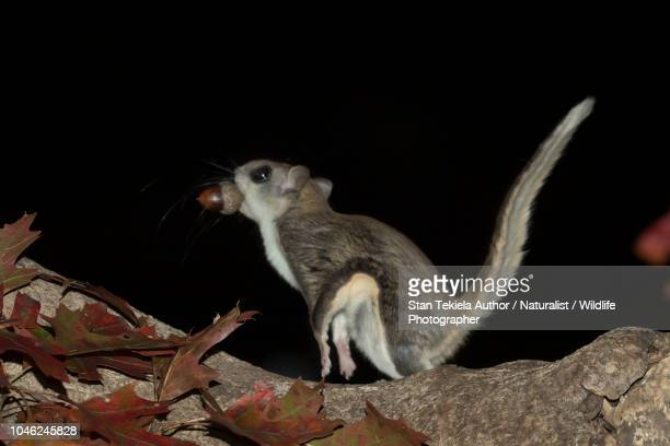 Southern Flying Squirrel, Glaucomys volans, jumping in the dark, acorn