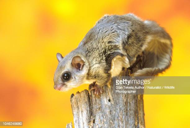 southern flying squirrel, glaucomys volans, on post, fall colors, autumn - flying squirrel stock pictures, royalty-free photos & images