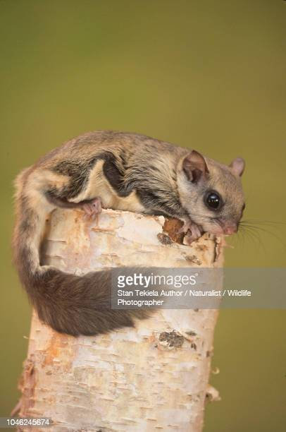 southern flying squirrel, glaucomys volans, on post - flying squirrel stock pictures, royalty-free photos & images