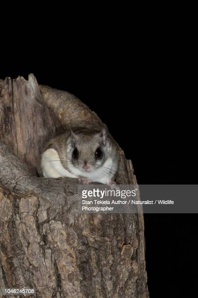 southern flying squirrel, glaucomys volans, on tree trunk, night, dark, - flying squirrel stock pictures, royalty-free photos & images