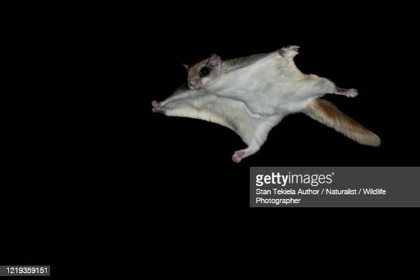 southern flying squirrel gliding at night in dark - flying squirrel stock pictures, royalty-free photos & images