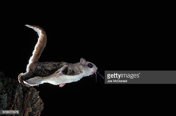 southern flying squirrel in flight - flying squirrel stock pictures, royalty-free photos & images