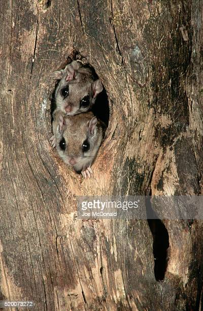 southern flying squirrels in a knothole - flying squirrel stock pictures, royalty-free photos & images