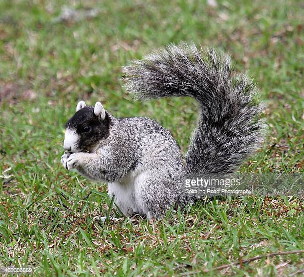 Southern Fox Squirrel