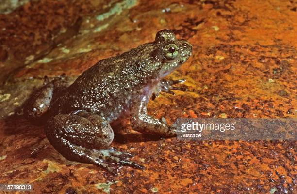 Southern gastric brooding frog now extinct according to Environment Australia Canondale Range Queensland Australia