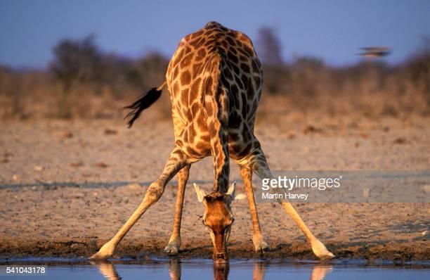 Southern Giraffe Drinking at Water Hole