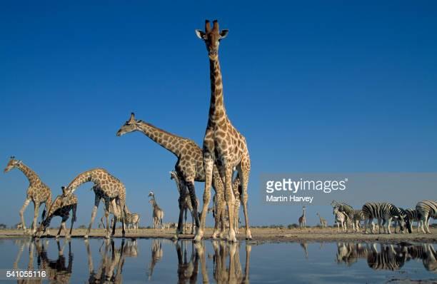 southern giraffe drinking at waterhole.etosha n.p. namibia - waterhole stock pictures, royalty-free photos & images
