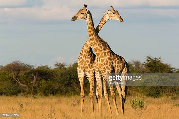 Southern giraffe standing closely together and crossing necks during play