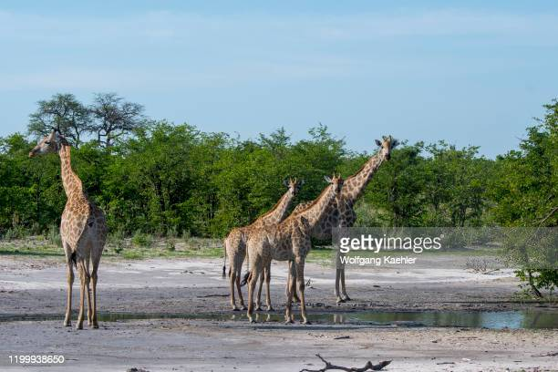 Southern giraffes came to a pond to drink in the Gomoti Plains area a community run concession on the edge of the Gomoti river system southeast of...